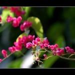 Một sắc hoa Ti gôn