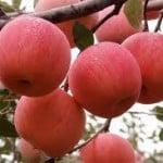 Những quả táo Yên Đài